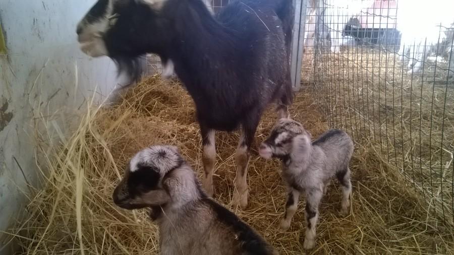 E con loro, 2 bei maschietti nati oggi pomeriggio, siamo a 18 capretti <3